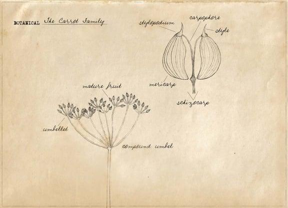 Botany: Carrot Family