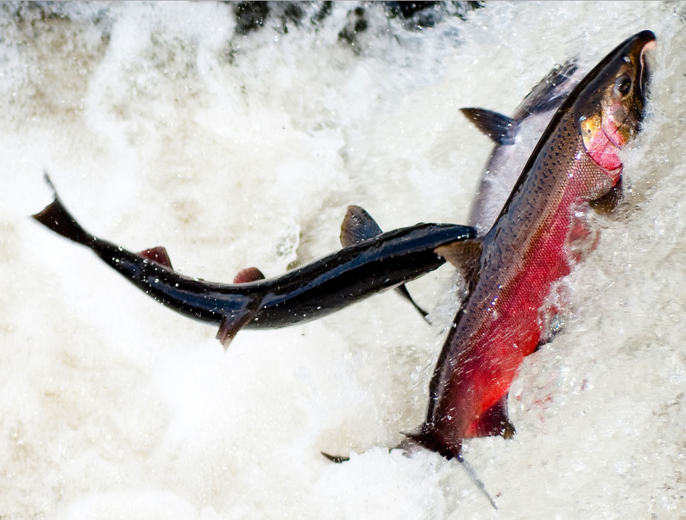 Double Your Donation: Safeguard Salmon from Suction Dredge Mining