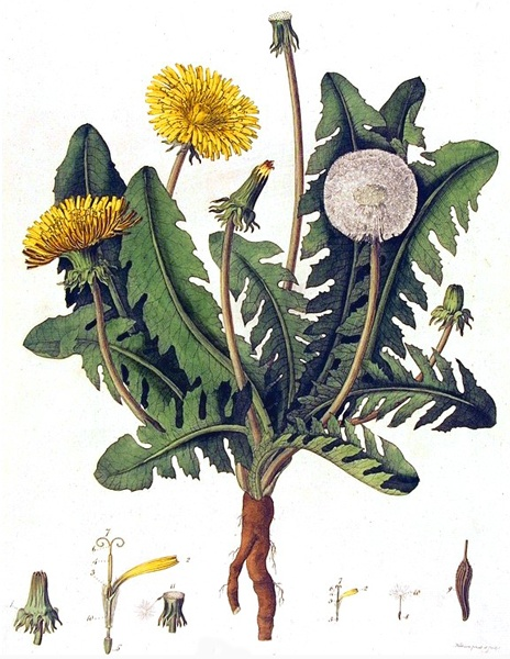 Dandelion Illustration