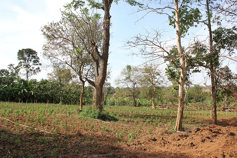 Grove of trees and saplings in southern India