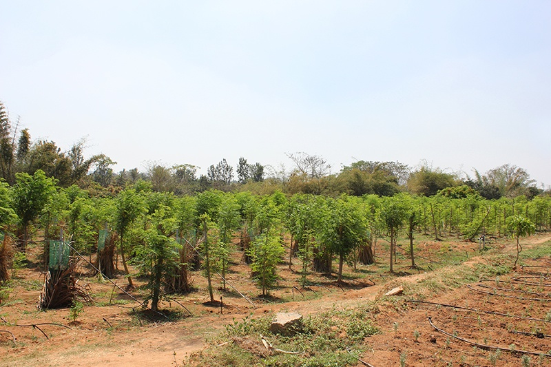 Grove of organic and fair trade trees in India.