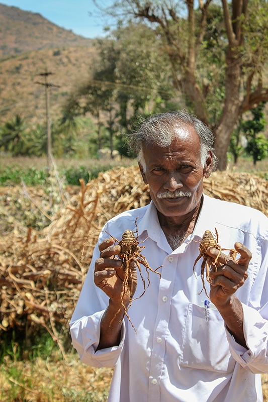 Man holding up two of his freshly harvested organic turmeric roots.