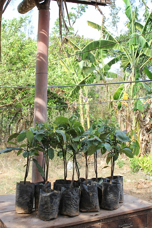 Nutmeg saplings waiting to be planted on organic and fair trade farm in India.