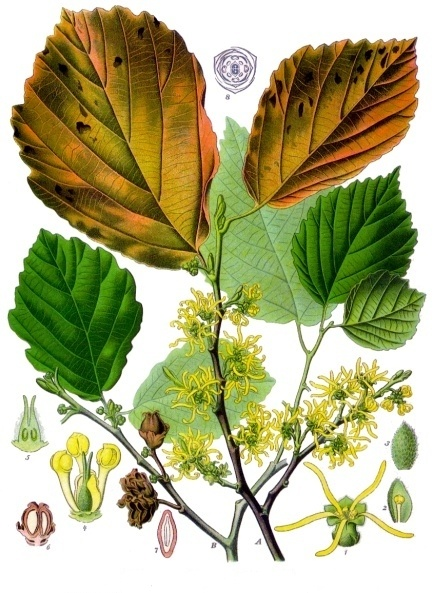 Color plant diagram of witch hazel