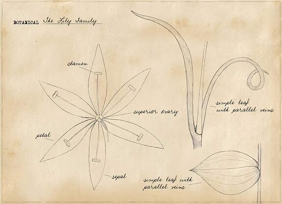 Basic Botany: The Lily Family
