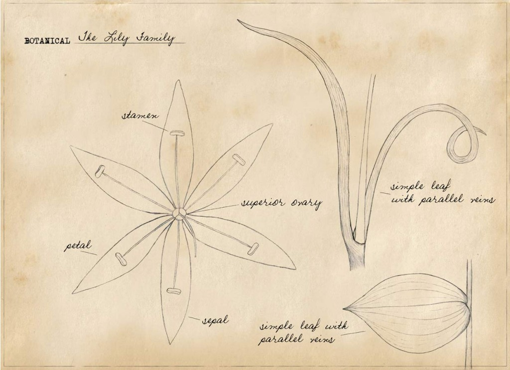 Basic Botany: The Lily Family