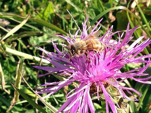 MEADOWKNAPWEED
