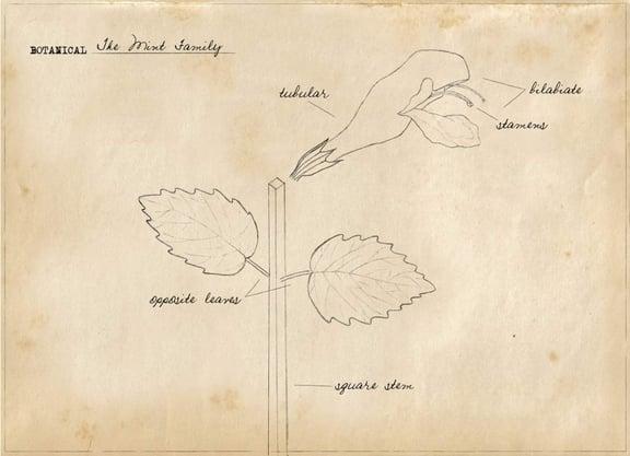 Basic Botany:  The Mint Family