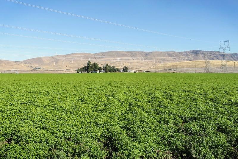 Organic Spearmint Farm Mountain Rose Herbs