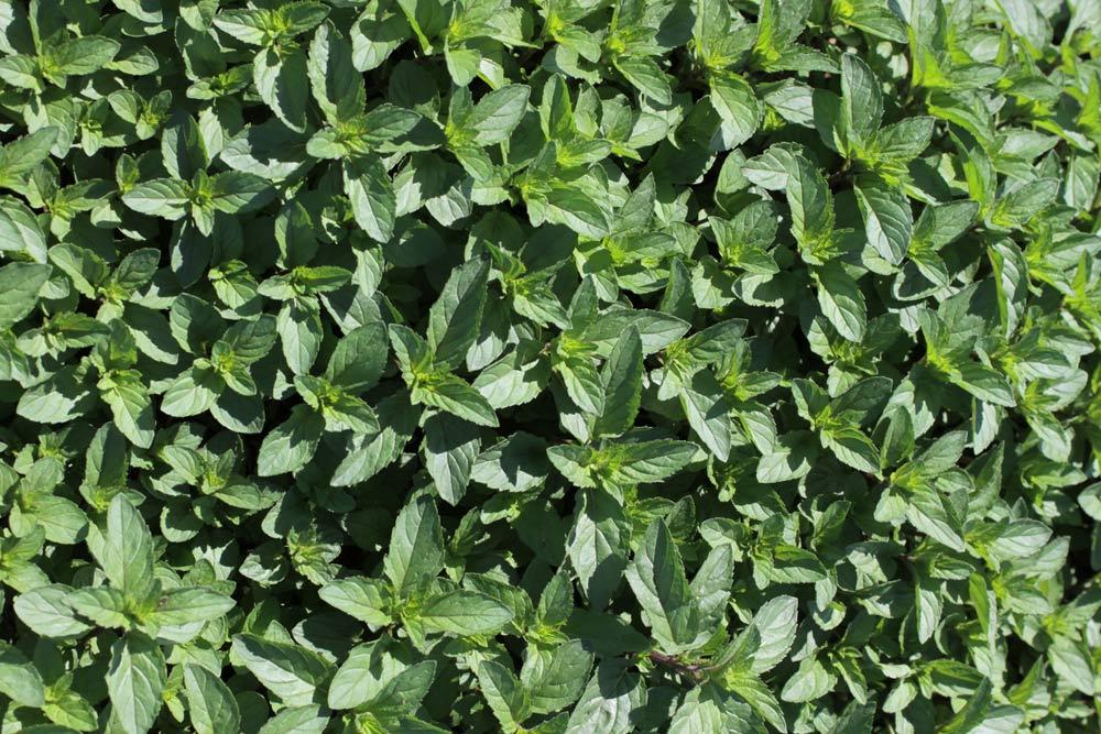 Organic Mint Farm