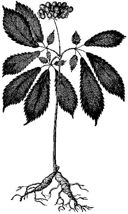 Panax_quinquefolium