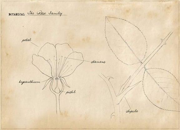 Basic Botany:  The Rose Family