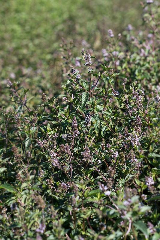 Spearmint Field - Mountain Rose Herbs