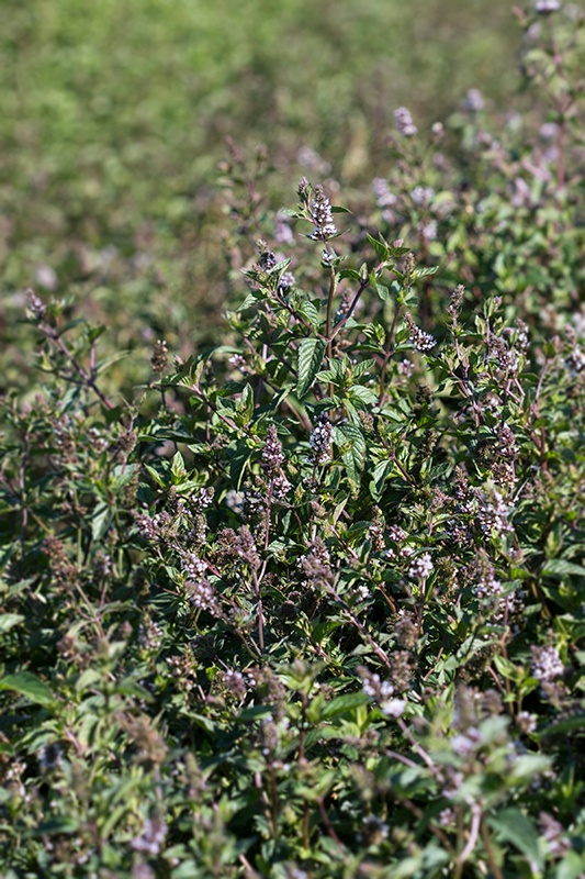 Spearmint Field - Mountain Rose Herbs