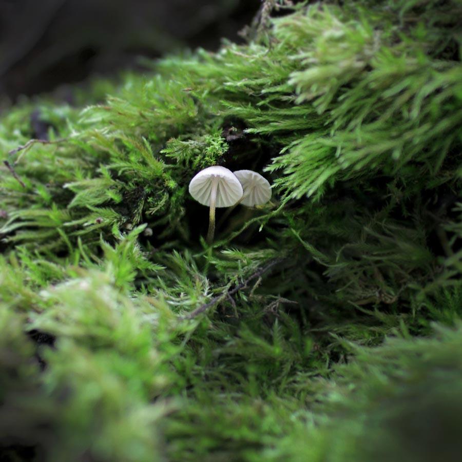 Little Oregon Mushrooms ~ Mountain Rose Herbs