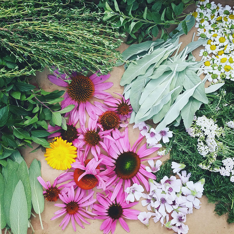 Sage, echinacea flowers, chamomile, thyme, mint, and other herbs laid out on table