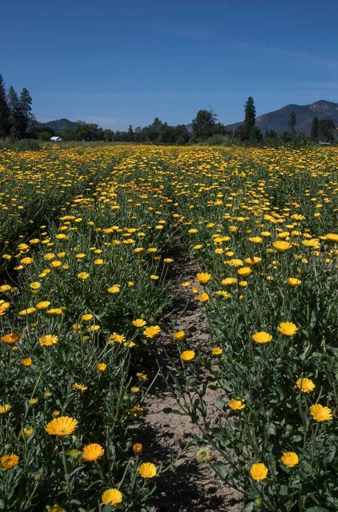 Farm Stories: North American Grown Calendula
