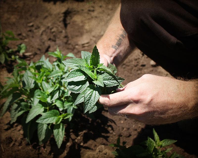 Farm Stories: Calming Herbs