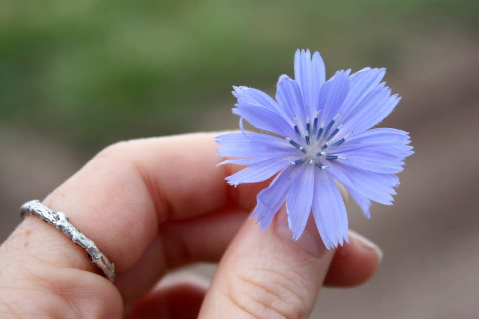Hand holding a chicory flower