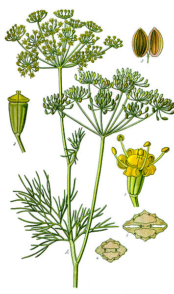 Botany: The Carrot Family