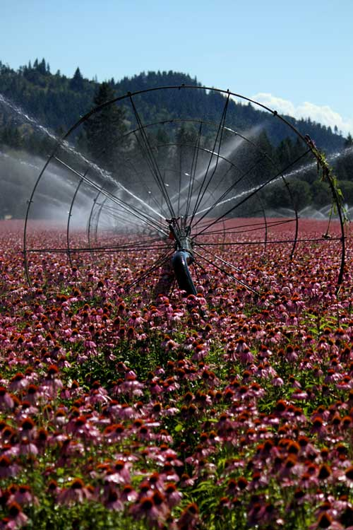 Organic Echinacea Farm - Mountain Rose Herbs
