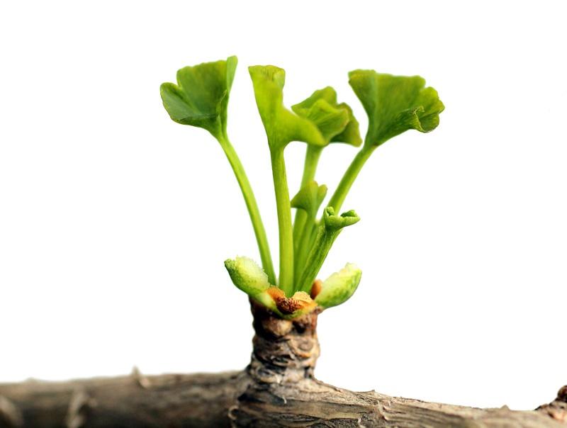 gingko-leafing-blog