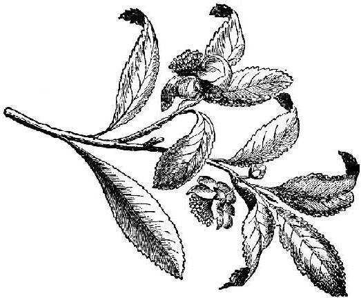 Green tea botanical drawing