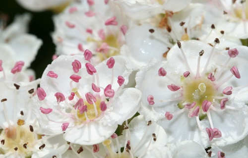 White hawthorn blossoms in bloom