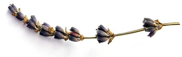 Close up of a sprig of lavender on white background