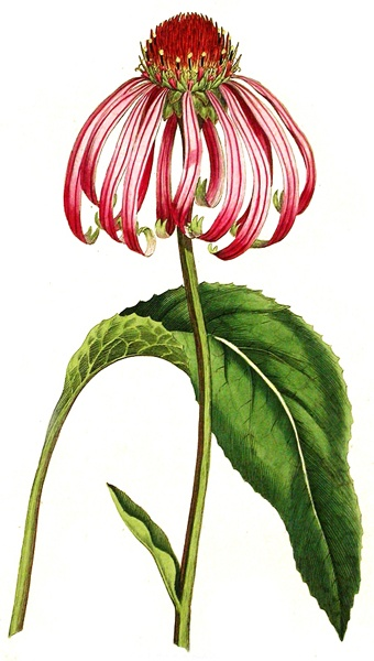 Illustration of echinacea