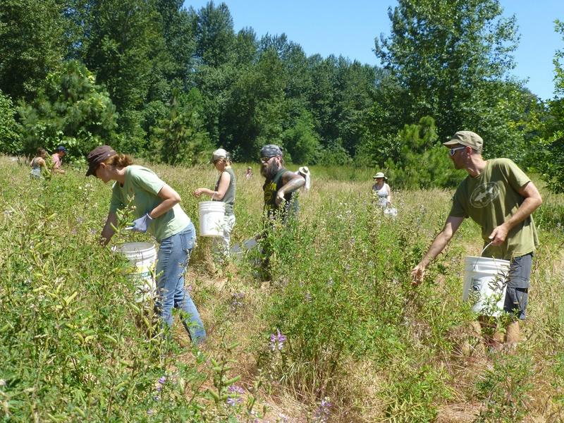 lupine-seed-gathering-P1090771