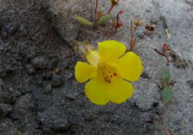 Native Plants are Becoming Endangered Species Too! - Endangered Monkey Flower
