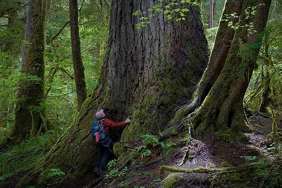 old-growth-tree