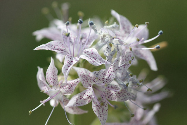 Native Plants are Becoming Endangered Species Too! - Endangered Pagosa Skyrocket