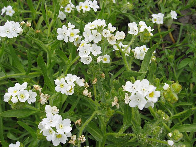 Native Plants are Becoming Endangered Species Too! - Popcorn-flower