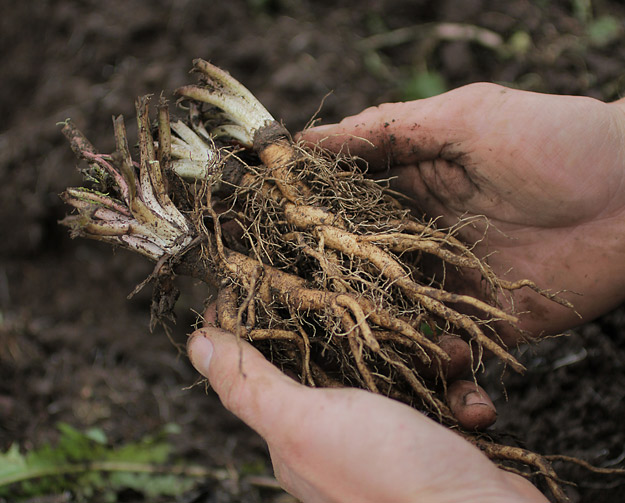 Root Harvest - Mountain Rose Herbs