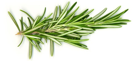 Spring of rosemary