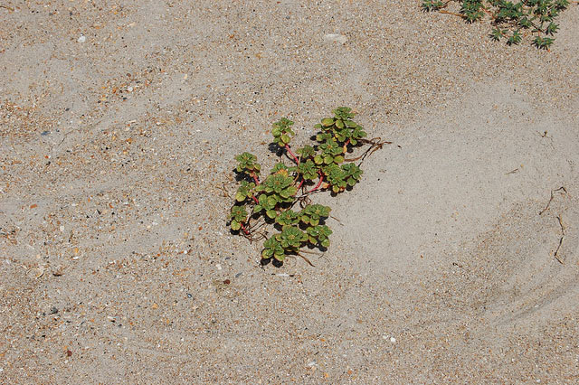 Native Plants are Becoming Endangered Species Too! - Endangered Sea Beach Amaranth