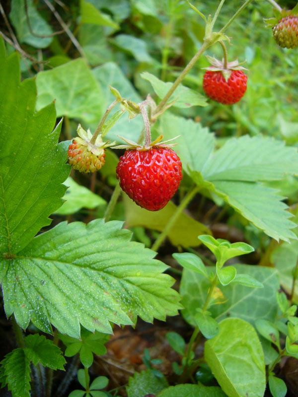 Strawberry Leaf Tea