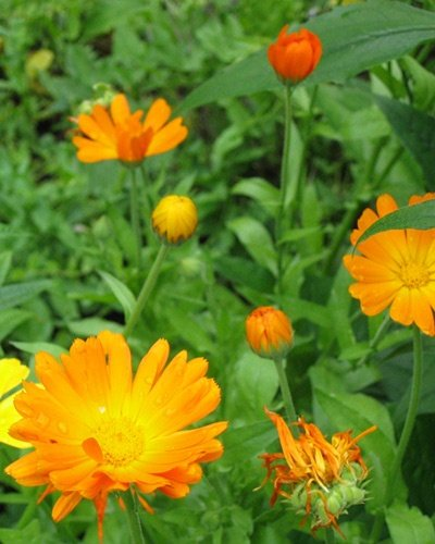 Calendula flowers are great for summer time healing.
