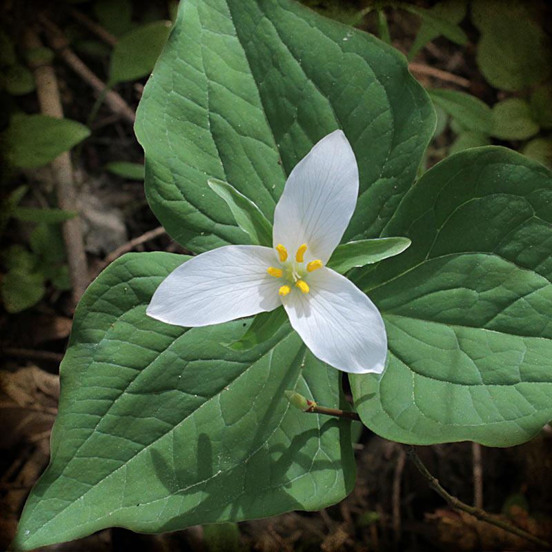trilliumflower