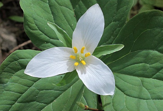 Herb Stories: Protecting Our Trilliums