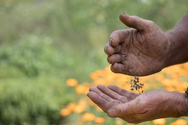 Richo Cech handling Calendula Seeds With Calendula Blurred In Background