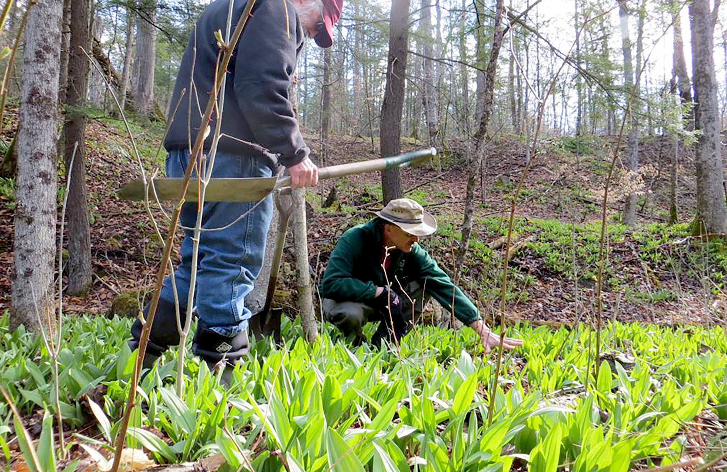 "Farmers tending to a forest crop of healthy wild onions, or ""ramps,"" in the heart of Appalachia."
