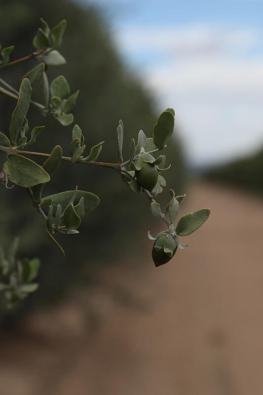 A seed emerges from an organic jojoba shrub in the Sonoran Desert.