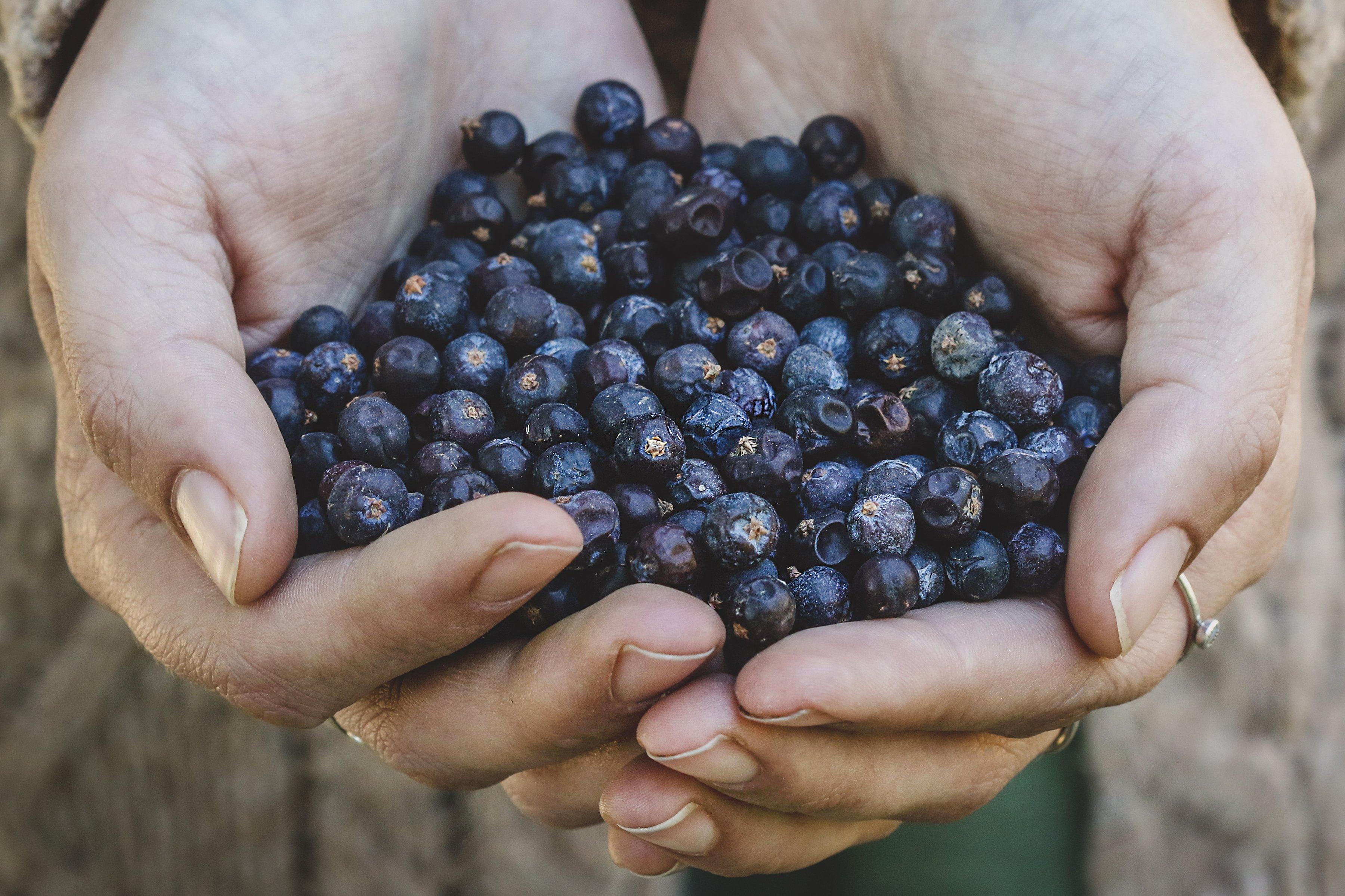 Hands holding juniper berries.