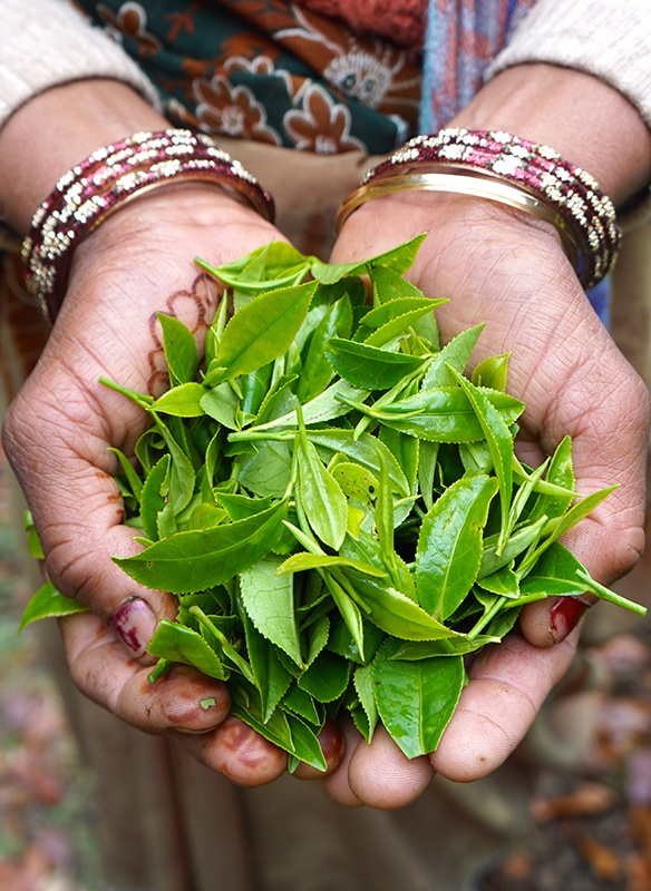 hands holding handful of fresh green tea leaves in North India