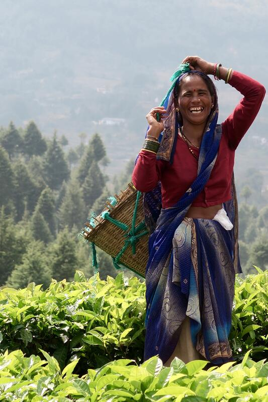 Indian woman in the tea fields picking black tea and laughing
