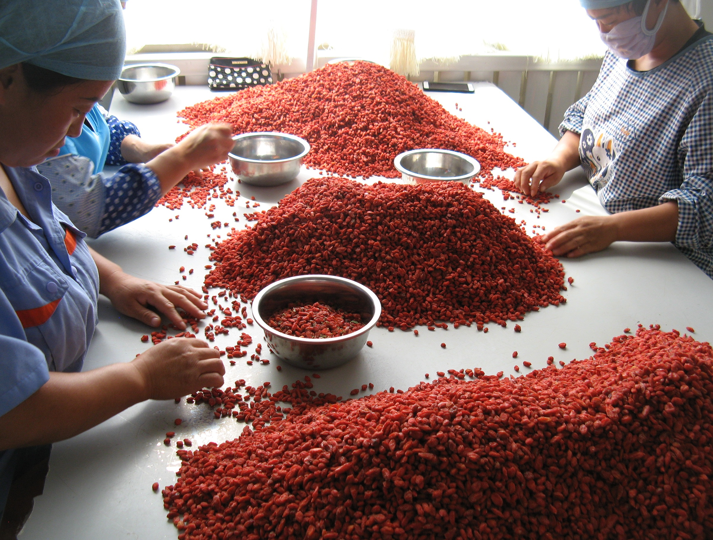 Lycii berries being hand sorted by workers sitting at a table in China