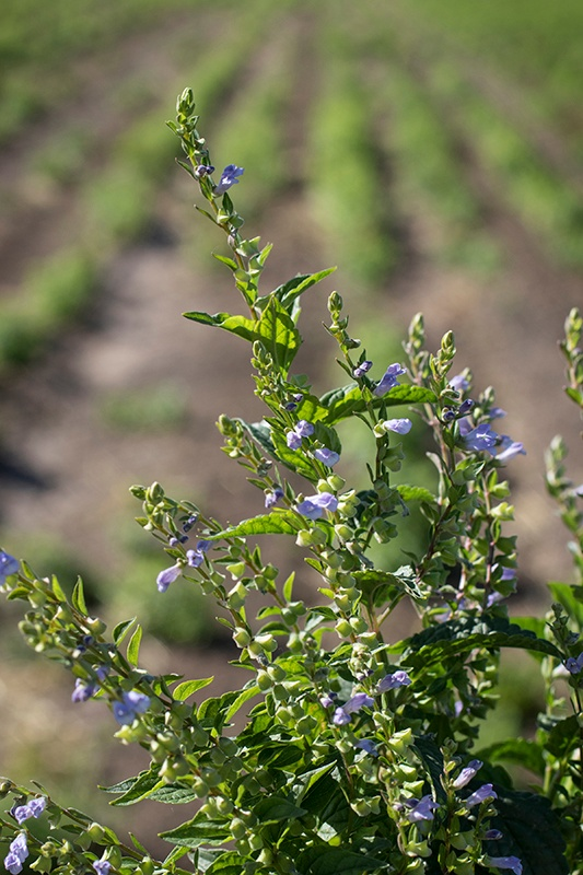 Organic skullcap in bloom with purple flowers